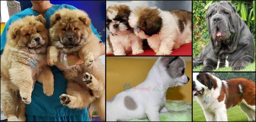 Hangi Köpek Irkını Tercih Etmelisiniz?