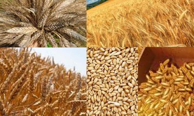 Yüksek Verime Sahip Buğday Türleri